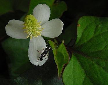 arigumo