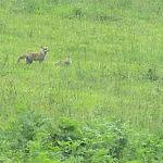 先日、八方尾根山麓の牧場で、キツネの親子に出会いました。 画面一面に見える白い点々は雨粒です。